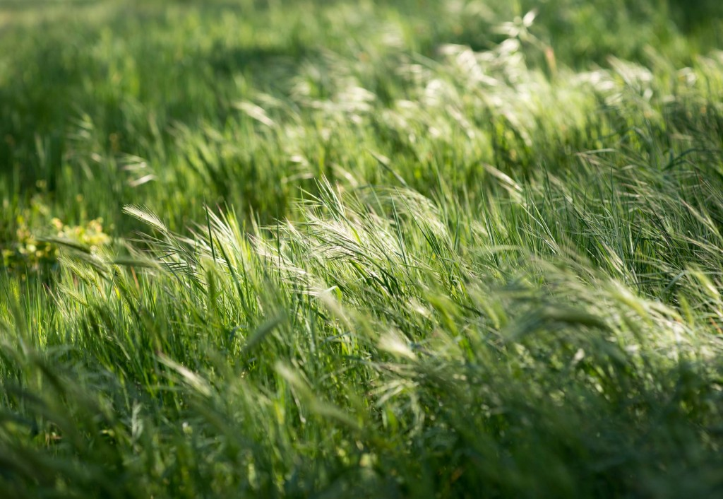 how to stop grass seeds in dogs ears