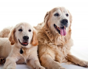 Goldens-Young-and-Adult