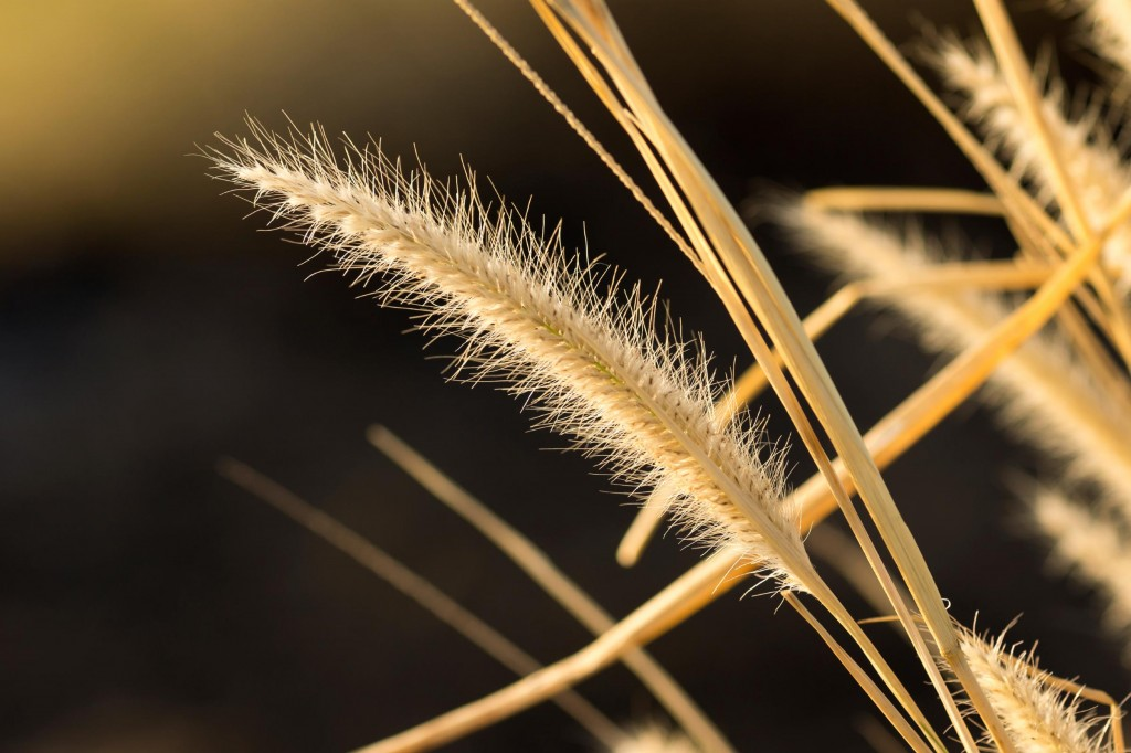 Foxtail-Dry